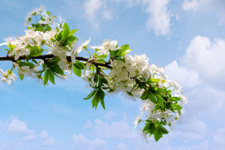 white apple blossom. beautiful orchard details ona sky background  in springtime. sunny weather Stock Photo