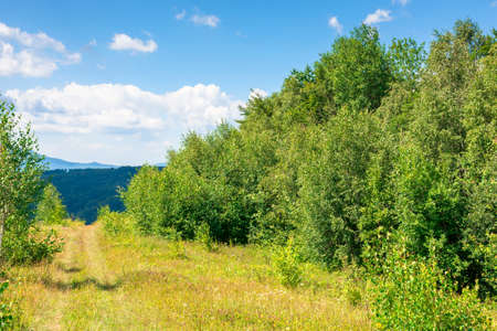 young forest on the meadow in mountains. summer nature scenery with range of trees beneath a blue sky with fluffy clouds in summer Stock Photo