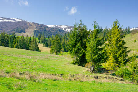 carpathian springtime landscape on a sunny day. beautiful nature scenery with spruce trees on the grassy meadow. snow capped ridge in the distance. warm weather with fluffy clouds on the sky Stock Photo