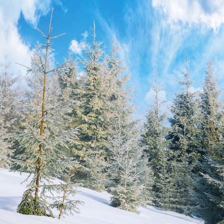 spruce forest on a misty morning. beautiful landscape in winter. misty weather with bright sky. hillside covered in snow