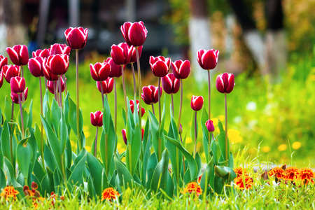 red tulips in the park. beautiful flowers with stripes on petals