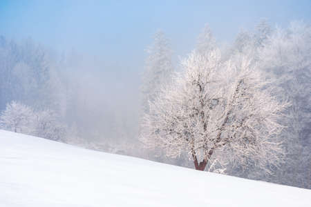 beech tree in mist on a snow covered hill. fairy tale winter mountain scenery. frosty weather on a sunny morning Stock Photo