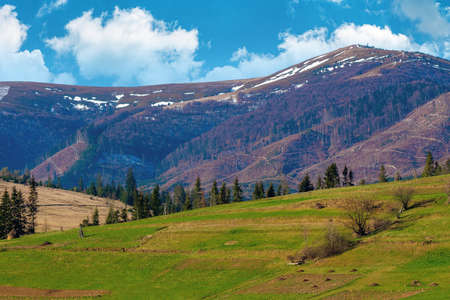 rural field on the hill in spring. snow capped mountain in the distance. beautiful carpathian landscape on a sunny day with fluffy clouds on the sky Stock Photo