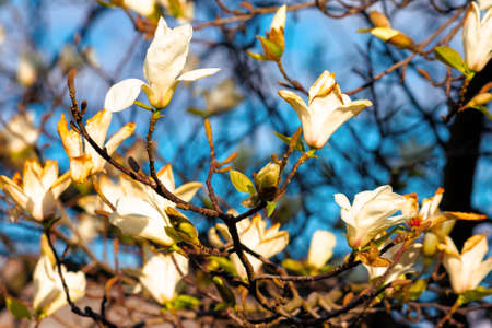 white magnolia blossom on a sunny day. beautiful nature background in springtime