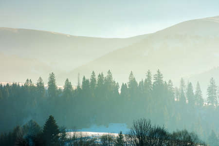 spruce trees on the hill on a foggy morning. beautiful nature scenery in winter. backlit silhouettes in mist