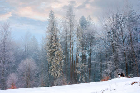 forest on a misty morning. trees in hoarfrost. beautiful winter scenery in foggy weather
