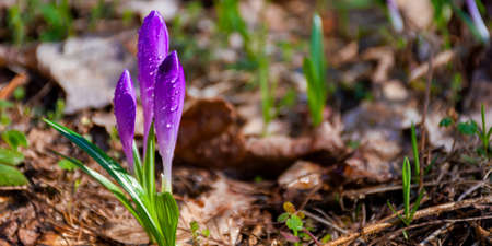 purple crocus flowers in spring. beautiful nature scenery on a sunny day Stock Photo