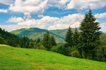 summer countryside in mountains. spruce trees on the grassy meadow. wonderful weather with fluffy clouds on the sky. beautiful landscape scenery