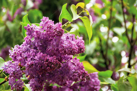 wet lilac blossom on the branches. beautiful nature background in springtime Stock Photo