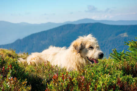 shepherd dog rest on the hill. cute animal in summer mountain landscape on a sunny day. good old friend concept Stock Photo