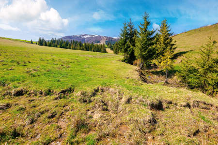 carpathian countryside in springtime. landscape with fir trees on the meadow covered with fresh green grass. snow on the distant mountains. sunny weather with clouds on the sky. borzhava ridge Stock Photo