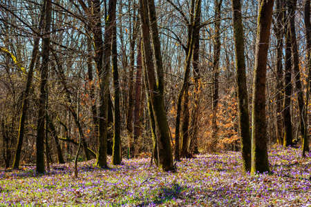 forest glade blossom in crocus. beautiful nature scenery in springtime. leafless trees on a sunny day