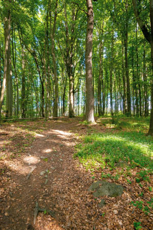 beech trees with fresh green foliage in sunlight. path through beautiful nature forest scenery in summer