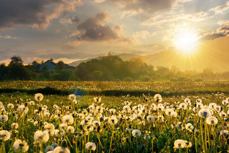 dandelion field in rural landscape at sunset. beautiful nature scenery with blooming weeds in evening light. clouds on the sky above the distant mountain Stock Photo