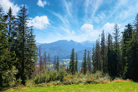 zakopane rural landscape in tatra mountains. spruce trees on the green grassy meadow of gubalowka range. beautiful nature scenery on a sunny day. clouds above the distant ridge
