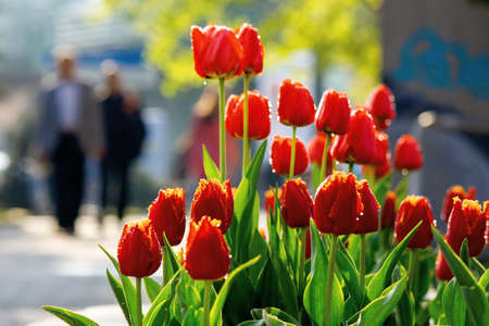 red tulips blooming in the garden. beautiful nature background in springtime on a sunny day. dew drop on the flowers