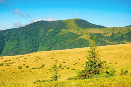summer mountain landscape in the morning. fir trees on grassy meadows. distant hills beneath a blue sky with clouds. chornohora ridge wonderful travel destination of carpathians