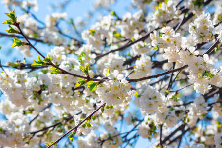 white apple blossom in morning sunlight. beautiful nature background in springtime. tender flowers on the branches in front of the blurry background of twigs and blue sky Stock Photo - 163039823
