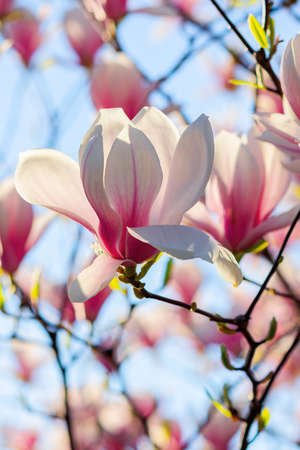 white magnolia blossom in sunlight. flowers on the branches in bright sunlight. beautiful nature background in springtime
