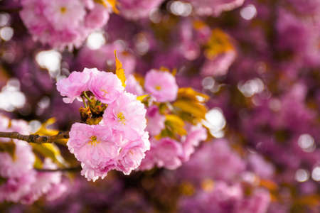 pink cherry blossom close up. beautiful nature scenery in morning light. spring freshness concept Stock Photo