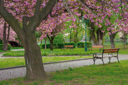 sakura blossom in the park. beautiful nature scenery in springtime. lush pink flowers on the branches above the paved footpath
