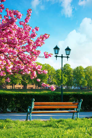 wonderful urban scenery in the morning. bench and lantern near blossoming cherry tree in the park. beautiful sunny weather with fluffy clouds on the sky