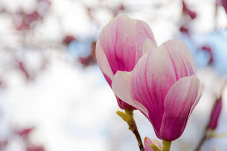 magnolia blossom on a sunny springtime day. pink flowers on the twigs in bright light. harmony and beauty in nature concept
