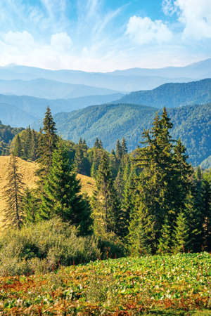 coniferous trees on the grassy hillside meadow. beautiful summer landscape in mountain. hills rolling down in to the distant ridge. sunny weather with bright blue sky with clouds