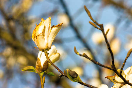 blossoming magnolia on a sunny day. beautiful nature background in springtime. white flowers on the branches in evening light