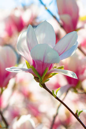 pink magnolia blossom in springtime. beautiful flowers on the branch in morning light Stock Photo