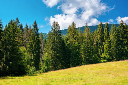 fir forest on the green grassy meadow. beautiful mountain landscape in summertime. good sunny weather with fluffy clouds on the sky at noon. carpathian countryside in mid summer Stock Photo