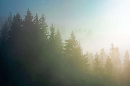 spruce trees in morning mist. enchanting winter nature scenery. light through fog. cold weather concept