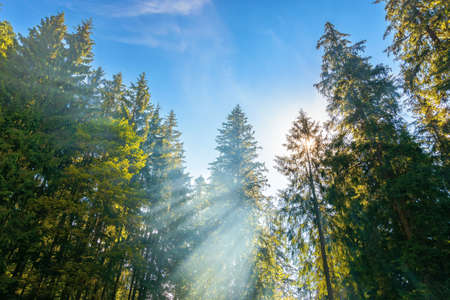 sunlight through trees and morning mist. beautiful forest nature background. wonderful sunny weather in summer season. blue sky above treetops