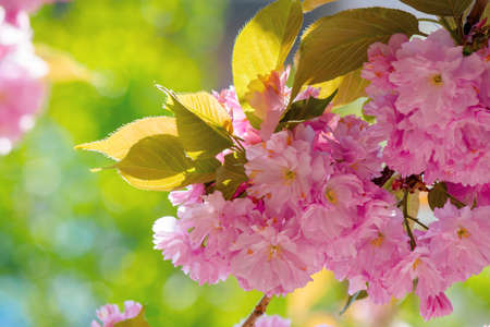 sakura blossom in sunlight. beautiful nature background in springtime. pink flowers in front of a blurry garden bokeh Stock Photo