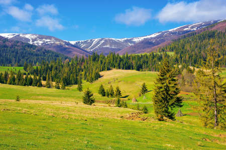 mountainous countryside in spring. rural fields and pastures in green grass. spruce forest on the rolling hills. distant alpine meadows of borzhava ridge in snow. sunny day in carpathians, ukraine