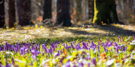 forest nature background in spring. crocus flowers on the glade. trees in the blurred distance. sunny weather