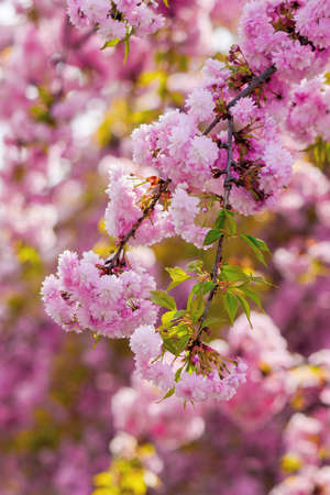 blooming pink flowers of sakura in ukraine. cherry blossom season in springtime. close up floral background Stock Photo