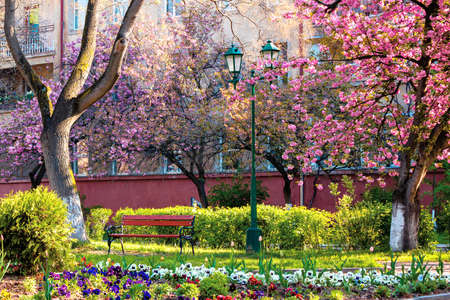 urban scenery with cherry blossom. bench and lantern under the trees. masaryk park in uzhgorod. beautiful sunny morning in springtime