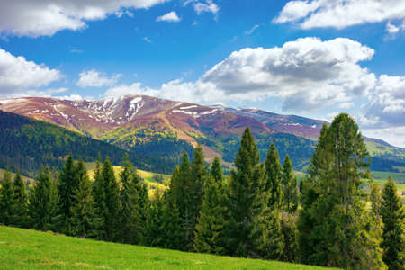 wonderful mountain scenery in spring. beautiful view with alpine valley in the background. spruce forest on the hillside meadow. fluffy clouds on a blue sky above the distant ridge