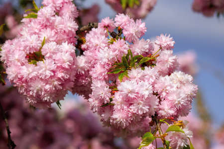 japanese cherry blossom on the branch. beautiful close up nature background in springtime on sunny day