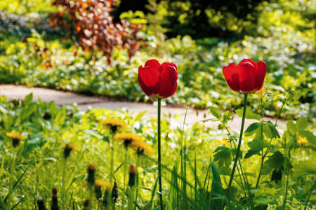 red tulips blooming in the garden. beautiful nature background in springtime on a sunny day
