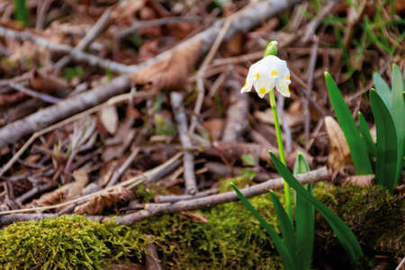 snowflake booming in the forest. beautiful wild flowers close up on a sunny day. early spring messenger concept