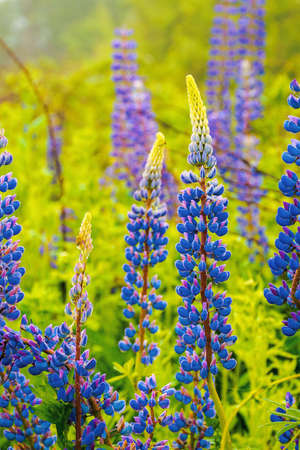 purple pink lupine blooming in the fog. close up of flowers in dew drops. beautiful nature background in summer.