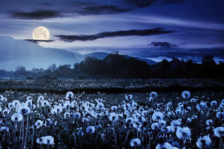 dandelion field in rural landscape at night. beautiful nature scenery with blooming weeds in full moon light. clouds on the sky above the distant mountain
