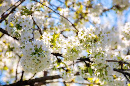 white apple blossom in morning sunlight. beautiful nature background in springtime. tender flowers on the branches in front of the blurry background of twigs and blue sky Stock Photo