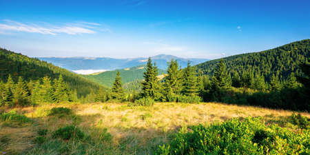 fir trees on the hillside meadow in morning light. beautiful nature scenery in summer time. fog in the valley. distant ridge beneath a blue sky. wonderful adventures in carpathians
