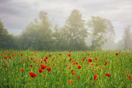 red poppy field in the mist. beautiful rural landscape in summer at sunrise. mysterious atmosphere. trees in the distant fog