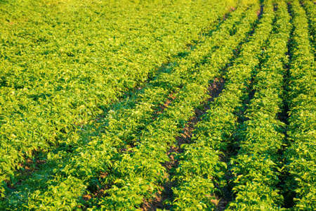 potato plants grow in a row. lush rural field in morning light. organic crop vegetation. green agricultural background in summer