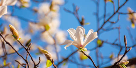 white magnolia blossom in the garden. springtime nature background on a sunny day. delicate flowers close up. romantic card concept Stock Photo