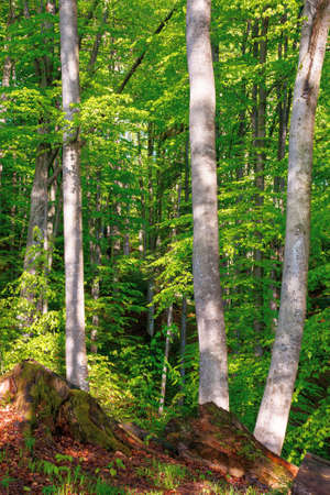 beech trees with fresh green foliage in sunlight. beautiful nature forest scenery in spring Stock Photo